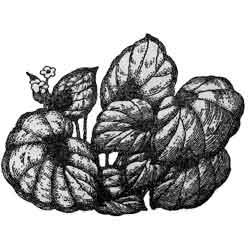 Бегония — растение, картинка чёрно-белая