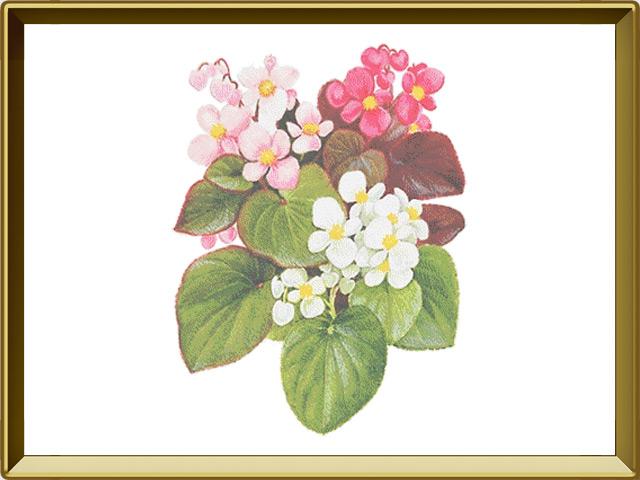 Бегония — растение, фото в рамке №1