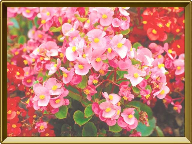 Бегония — растение, фото в рамке №2