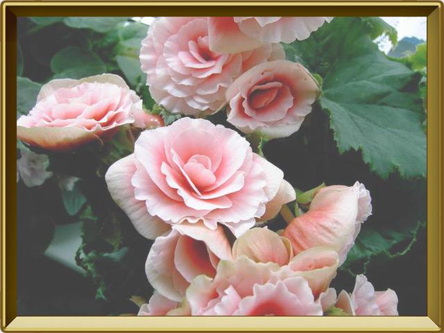 Бегония — растение, фото в рамке №3