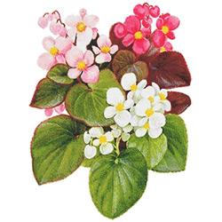Бегония — растение, картинка цветная