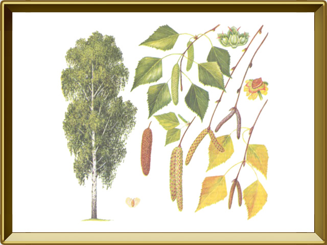 Берёза — растение, фото в рамке №1