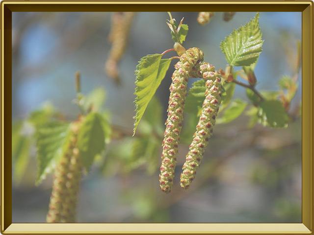Берёза — растение, фото в рамке №3