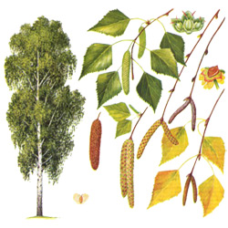 Берёза — растение, картинка цветная