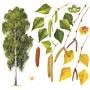 Берёза — растение