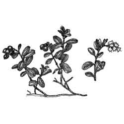 Брусника — растение, картинка чёрно-белая