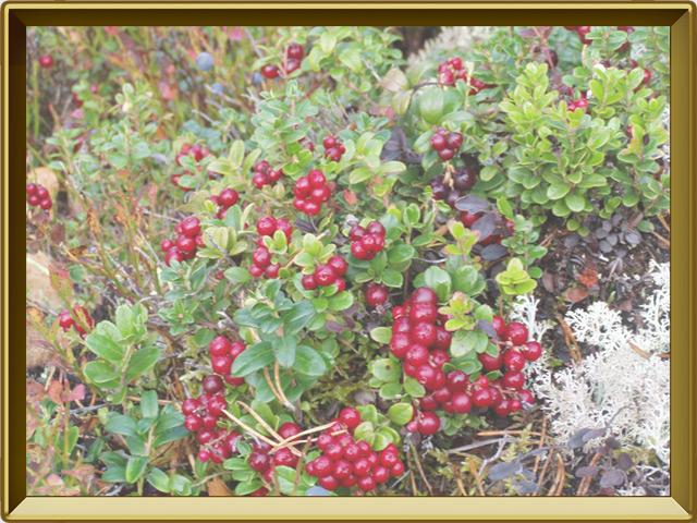 Брусника — растение, фото в рамке №2