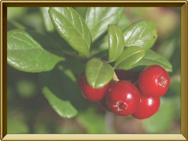 Брусника — растение, фото в рамке №3