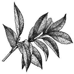Чай — растение, картинка чёрно-белая
