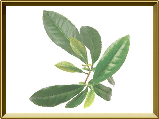 Чай — растение, фото в рамке №1