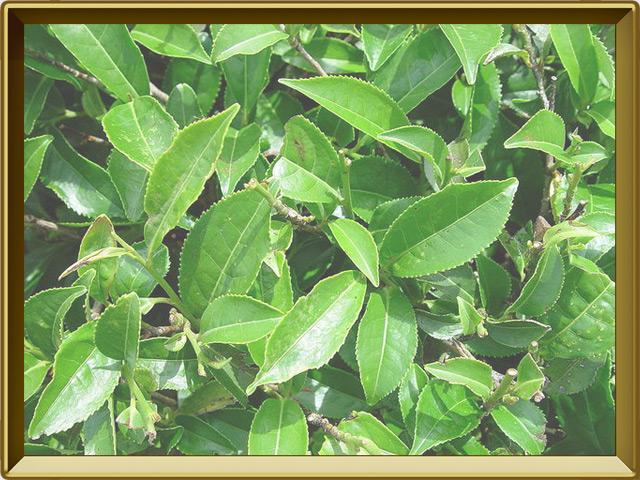 Чай — растение, фото в рамке №2