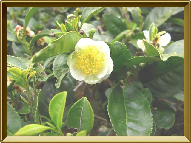 Чай — растение, фото в рамке №3