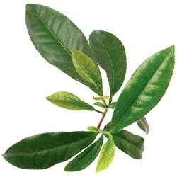 Чай — растение, картинка цветная