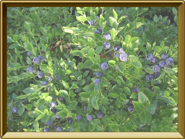 Черника — растение, фото в рамке №2