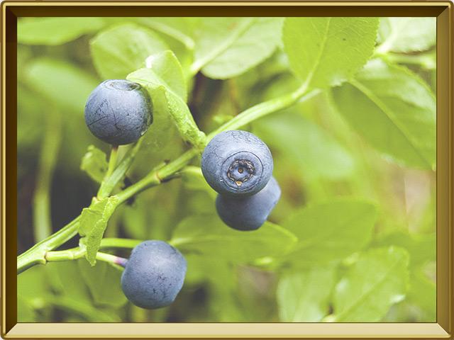 Черника — растение, фото в рамке №3