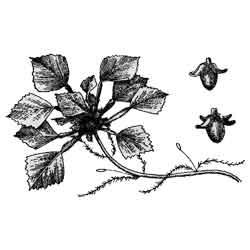 Чилим — растение, картинка чёрно-белая