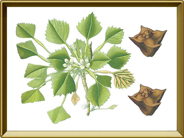 Чилим — растение, фото в рамке №1