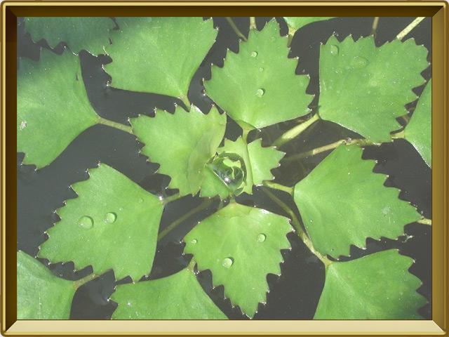 Чилим — растение, фото в рамке №2