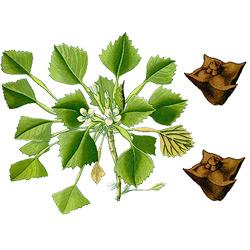 Чилим — растение, картинка цветная