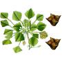 Чилим — растение