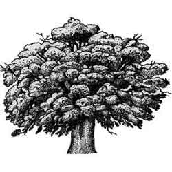 Дуб — растение, картинка чёрно-белая