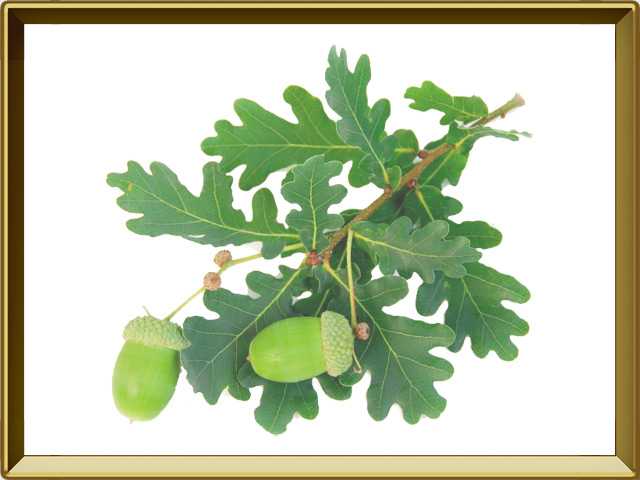 Дуб — растение, фото в рамке №1