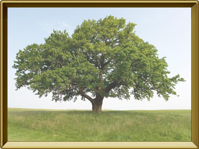 Дуб — растение, фото в рамке №2