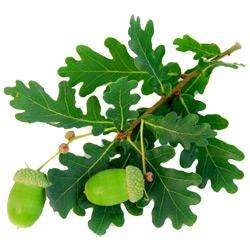 Дуб — растение, картинка цветная