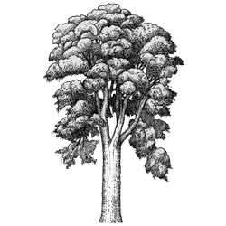 Эвкалипт — растение, картинка чёрно-белая