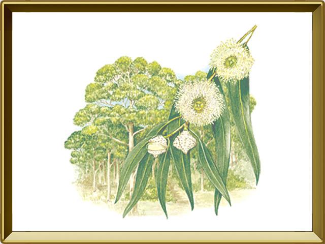 Эвкалипт — растение, фото в рамке №1
