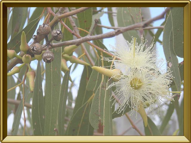 Эвкалипт — растение, фото в рамке №3