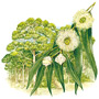 Эвкалипт — растение
