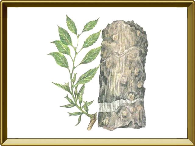 Эвкоммия — растение, фото в рамке №1