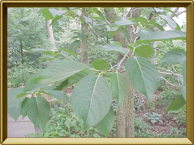 Эвкоммия — растение, фото в рамке №2