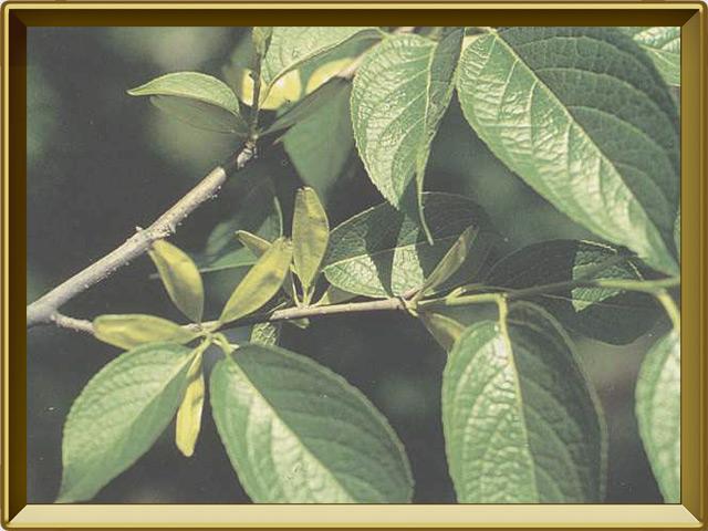 Эвкоммия — растение, фото в рамке №3