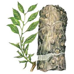 Эвкоммия — растение, картинка цветная