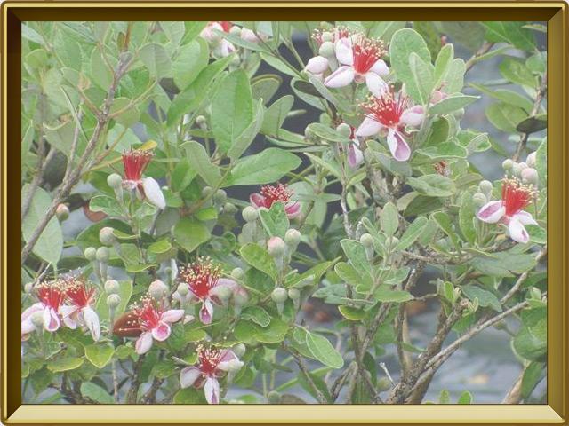 Фейхоа — растение, фото в рамке №2