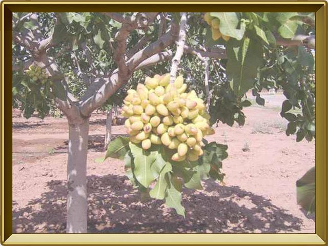 Фисташка — растение, фото в рамке №2