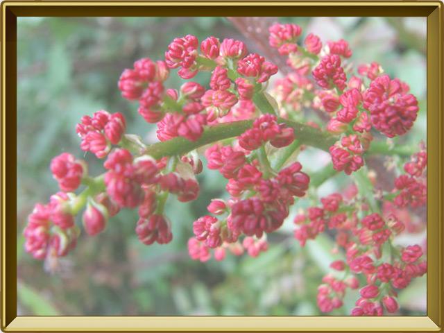 Фисташка — растение, фото в рамке №3