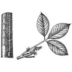 Гевея — растение, картинка чёрно-белая
