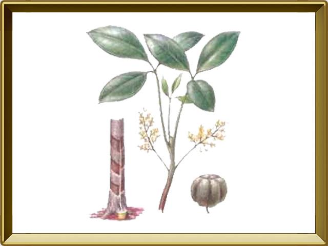 Гевея — растение, фото в рамке №1