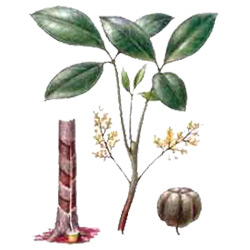 Гевея — растение, картинка цветная
