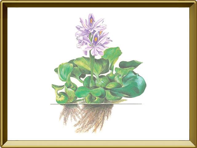 Гиацинт — растение, фото в рамке №1