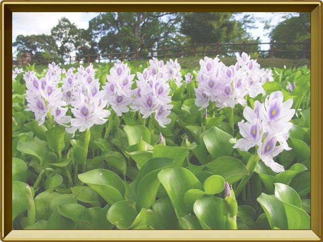 Гиацинт — растение, фото в рамке №2