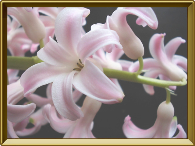 Гиацинт — растение, фото в рамке №3