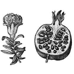 Гранат — растение, картинка чёрно-белая