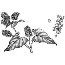 Гречиха — растение, картинка чёрно-белая