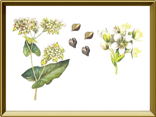 Гречиха — растение, фото в рамке №1