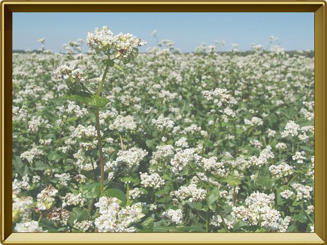 Гречиха — растение, фото в рамке №2