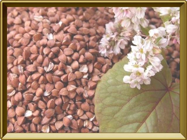 Гречиха — растение, фото в рамке №3